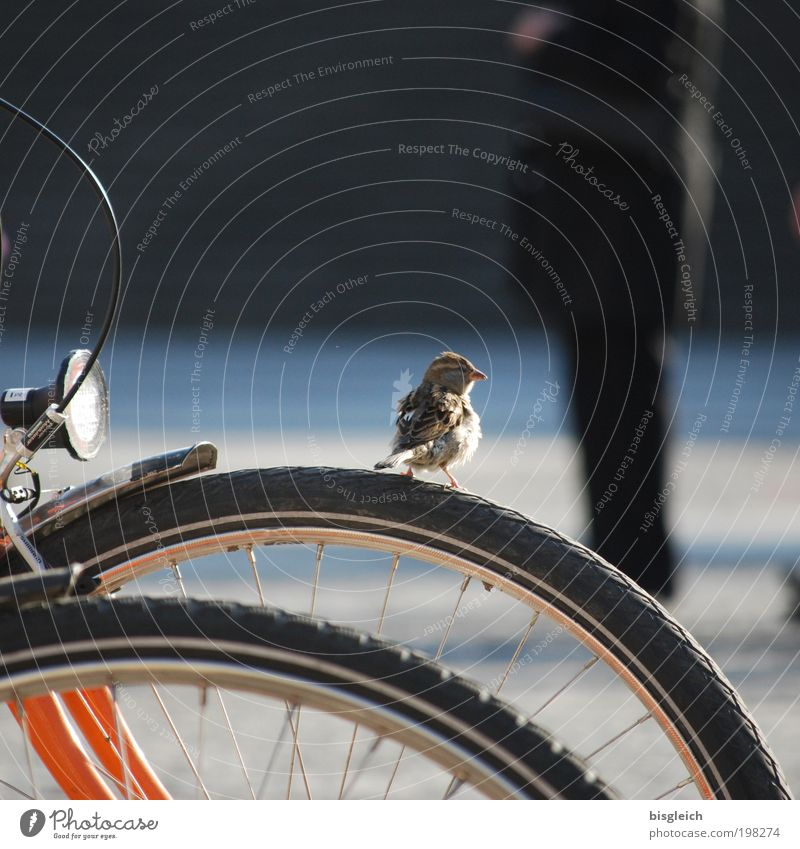 Sparrow II Animal Bird 1 Bicycle Small Cute Attentive Calm Contentment Colour photo Subdued colour Exterior shot Day
