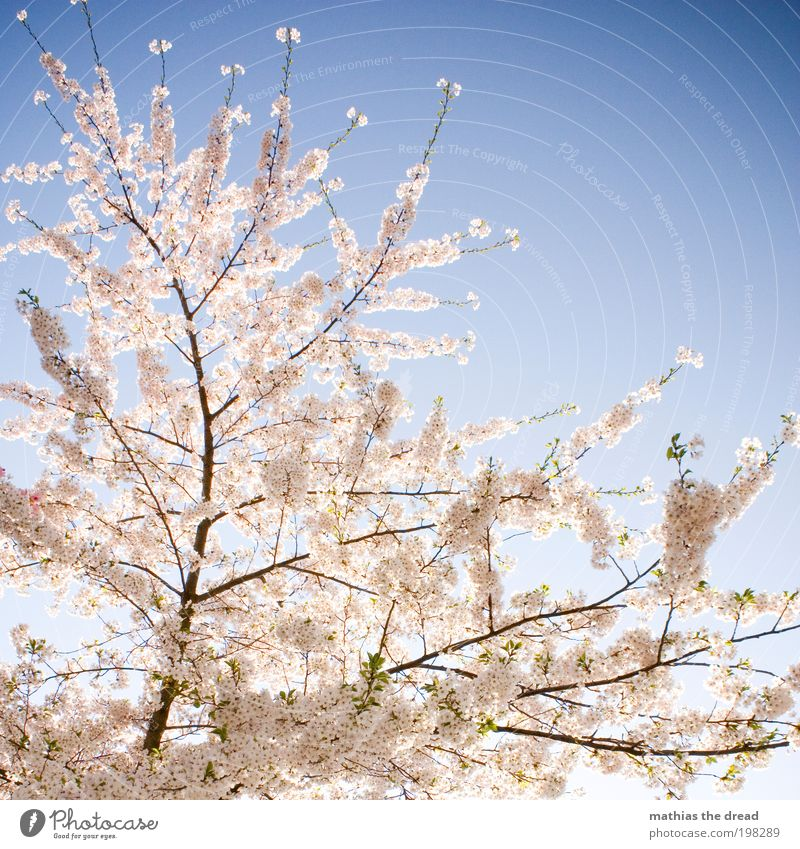 Nature Beautiful Sky White Tree Plant Life Relaxation Blossom Spring Park Landscape Contentment Environment Fruit Esthetic