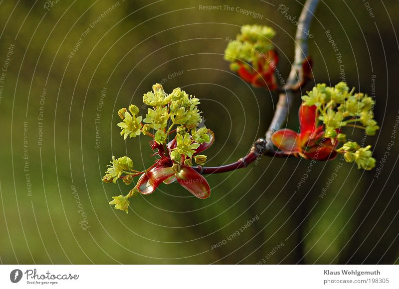 Beautiful Tree Green Plant Red Calm Yellow Blossom Spring Moody Elegant Fresh Blossoming Harmonious Twig Wild plant
