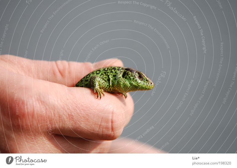 Hand Animal Small Large Fingers Animal face Catch To hold on Saurians Close-up Lizards