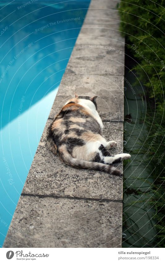 Cat Blue Summer Relaxation Loneliness Animal Sadness Garden Lie Wait To enjoy Sleep Swimming pool Overweight Summer vacation Pet