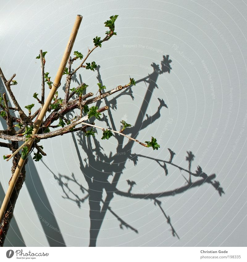 plant Environment Nature Plant Animal Tree Bushes Wood Gray Green Branch Wall (building) Shadow Prop Stick Balcony Balcony plant Bud Bamboo stick Sun Light