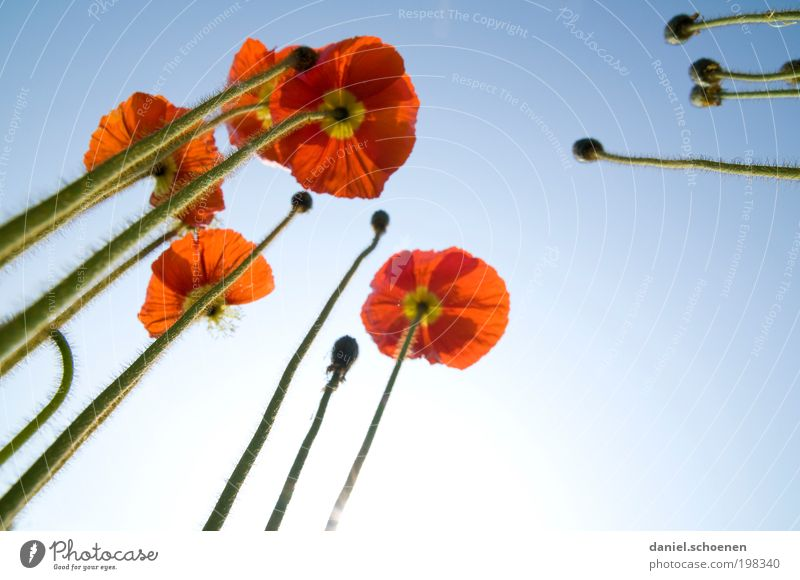 the poppy that grows in the sky Nature Plant Sky Cloudless sky Spring Summer Beautiful weather Blossom Garden Blue Red Perspective Growth Poppy Iceland poppy