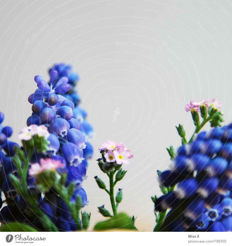 Nature Flower Plant Meadow Blossom Garden Park Small Hyacinthus