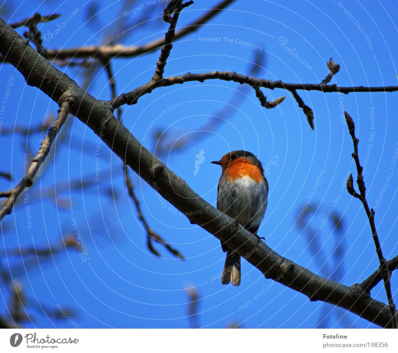 robin Environment Nature Landscape Plant Animal Air Sky Cloudless sky Spring Summer Climate Weather Beautiful weather Warmth Tree Garden Park Wild animal Bird