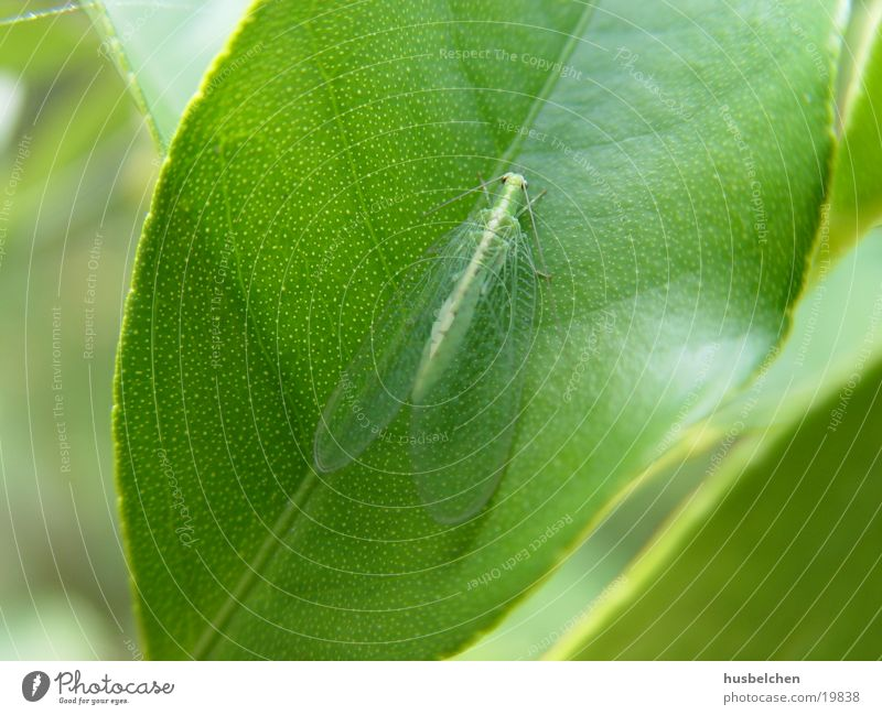 Green Leaf Wing Butterfly Transparent Feeler