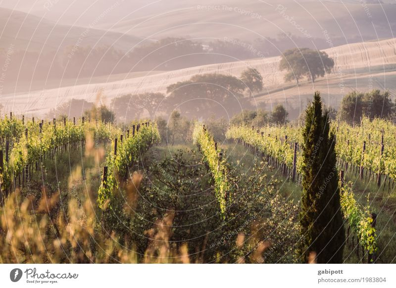 Tuscan wine Environment Nature Landscape Air Sun Summer Climate Beautiful weather Fog Plant Vine Field Hill Natural Happiness Joie de vivre (Vitality)