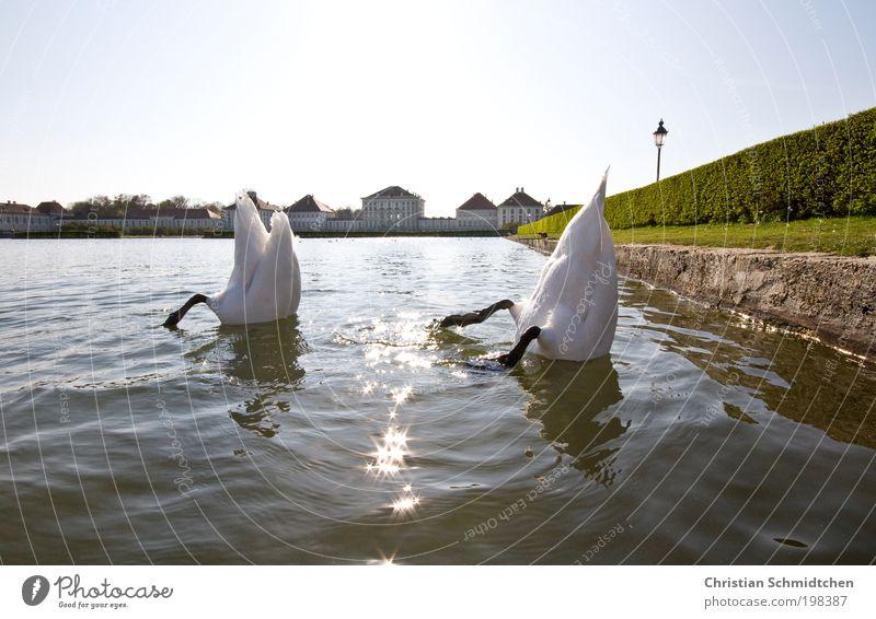 Water White Sun Green Blue Animal Spring Lake Search Munich Dive Castle Under Wild animal Bavaria Swan