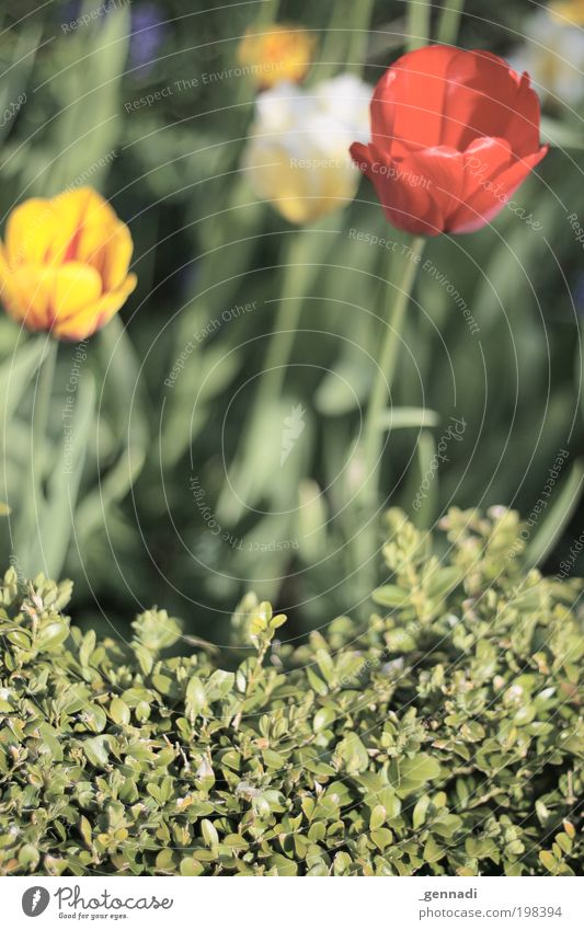 Nature Green Plant Flower Environment Bushes Kitsch Tulip Foliage plant Agricultural crop Judicious