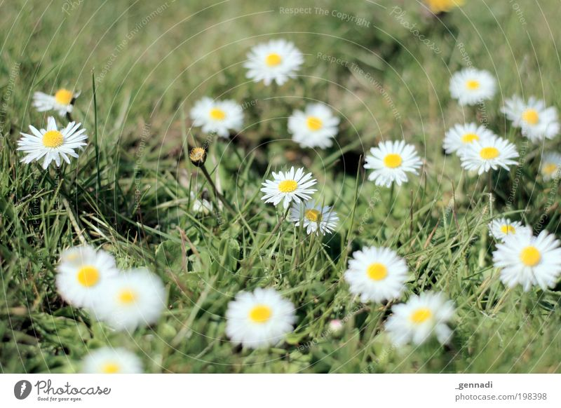 dots Environment Nature Plant Flower Grass Blossom Foliage plant Daisy Flower meadow Green Make green Greeny-yellow White white-yellow Fragrance Success