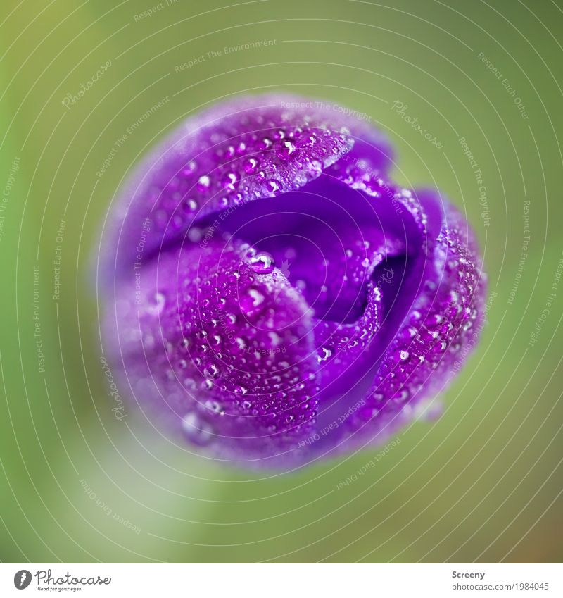 Nature Plant Green Water Flower Blossom Spring Meadow Small Garden Growth Fresh Drops of water Blossoming Wet Violet