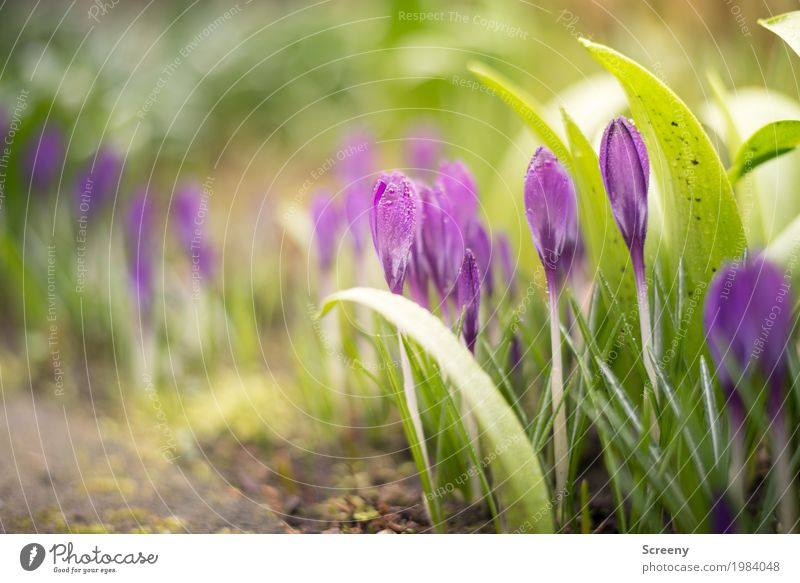 Blossoming #1 Nature Plant Earth Spring Beautiful weather Flower Bushes Leaf Crocus Garden Meadow Growth Small Green Violet Spring fever Colour photo