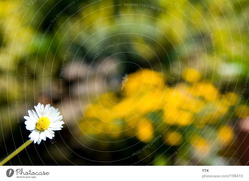 Daisy in the Sun Environment Nature Plant Spring Climate Beautiful weather Blossom Wild plant Garden Blossoming Growth Fragrance Glittering Bright Multicoloured