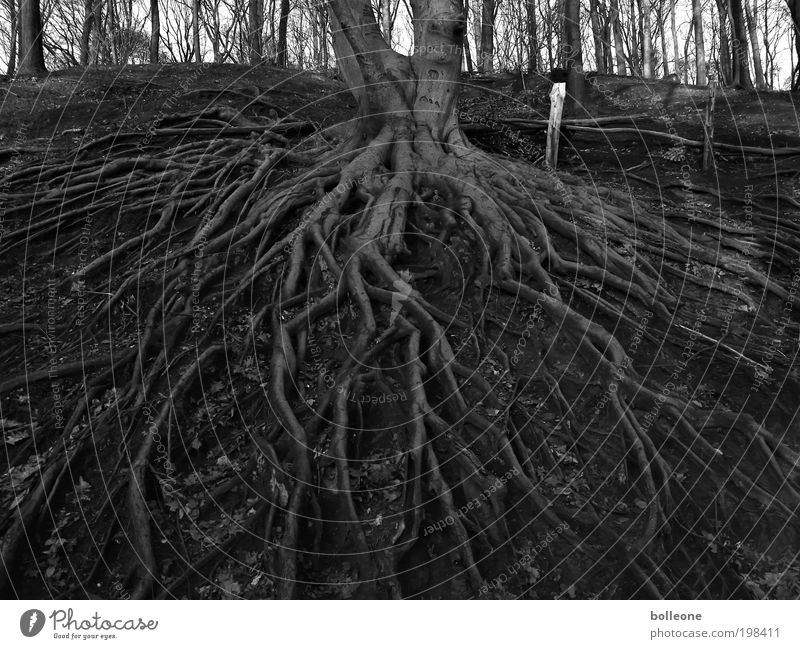 entrenched Environment Nature Landscape Plant Earth Tree Forest Deserted Network Old Growth Wait Dark Black Power Survive Change Black & white photo