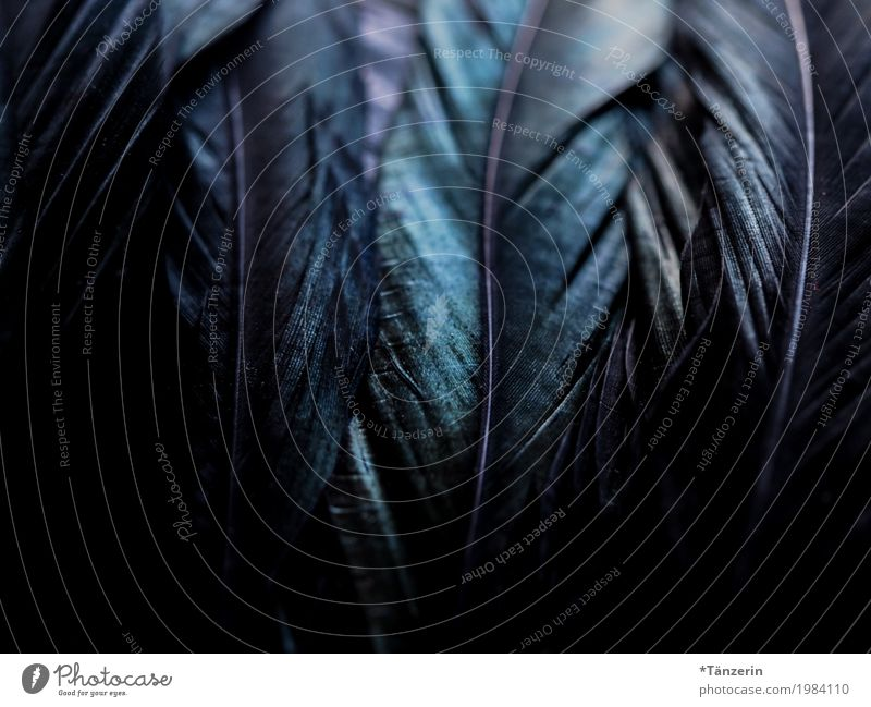 shades of black Bird Wing Feather Esthetic Glittering Creepy Natural Beautiful Blue Green Black Colour photo Subdued colour Detail Macro (Extreme close-up)