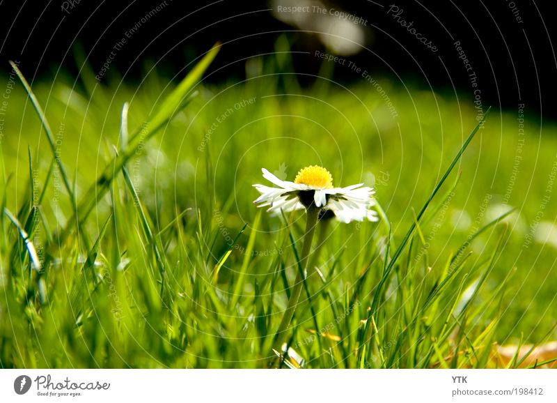 Beauty of the lawn Environment Nature Plant Spring Beautiful weather Grass Blossom Wild plant Blossoming Fragrance Fresh Glittering Warmth Green Daisy Meadow
