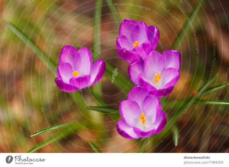 crocuses Environment Nature Landscape Plant Earth Spring Beautiful weather Flower Leaf Blossom Crocus Garden Park Meadow Blossoming Warmth Violet Transience