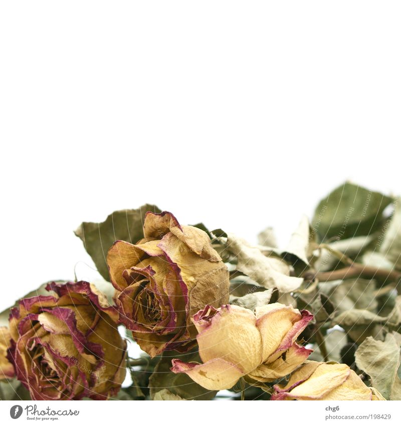 White Flower Green Plant Red Yellow Rose Transience Dry