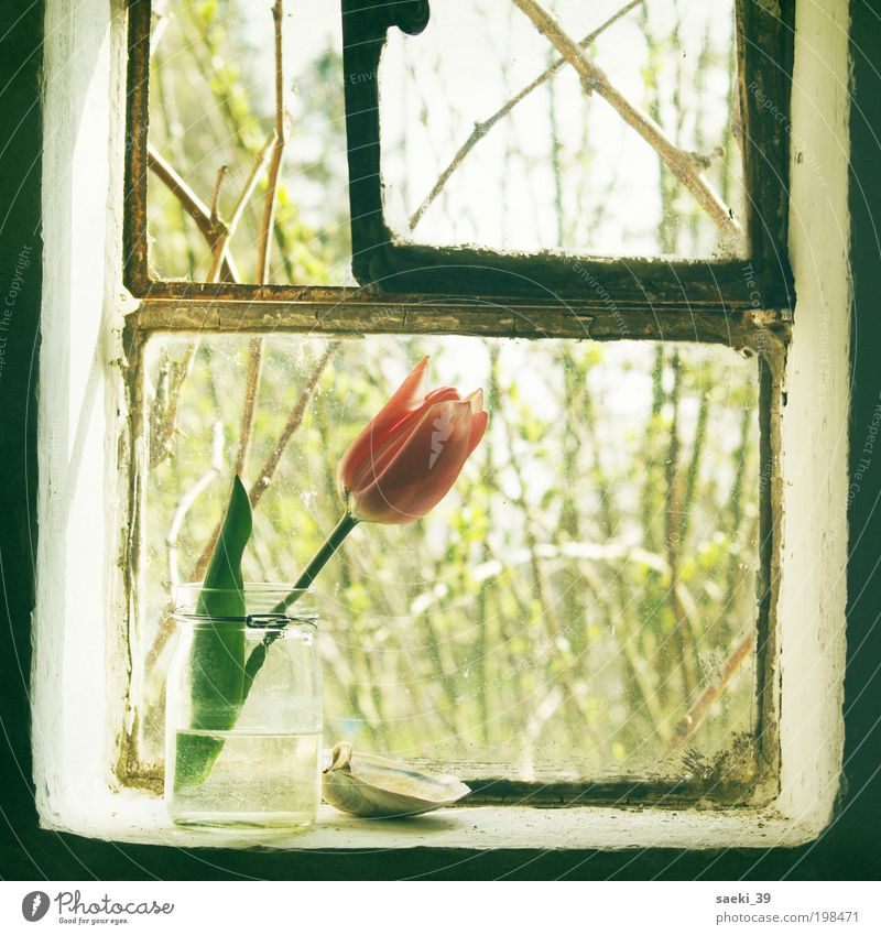tulipa House (Residential Structure) Nature Plant Spring Tulip Blossom Fragrance Simple Friendliness Fresh Good Positive Moody Happy Spring fever Romance