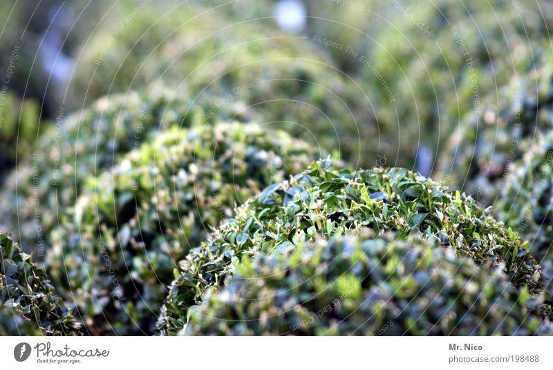buxus Nature Plant Spring Foliage plant Pot plant Garden Green Box tree Bushes Park Front garden Market garden Landscaping Gardening Gardener Round Cut