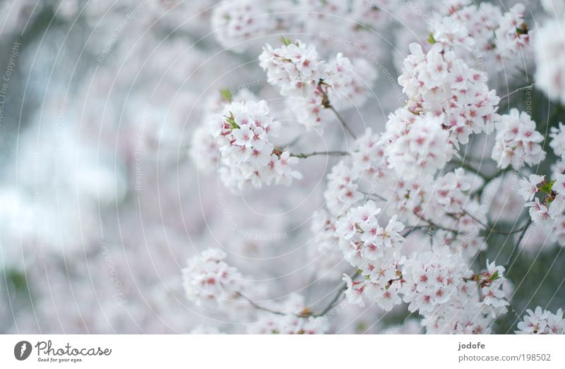 tree blossom Environment Nature Plant Beautiful weather Tree Blossom Meadow Field Fragrance Pink White Cherry blossom Apple blossom utility tree