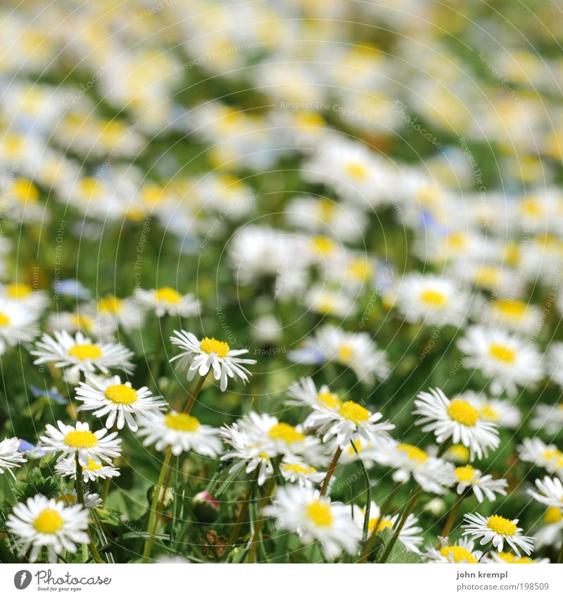 a dance with daisy Beautiful weather Plant Flower Blossom Daisy Daisy Family Garden Park Meadow Smiling Growth Friendliness Happiness Fresh Happy Good Positive