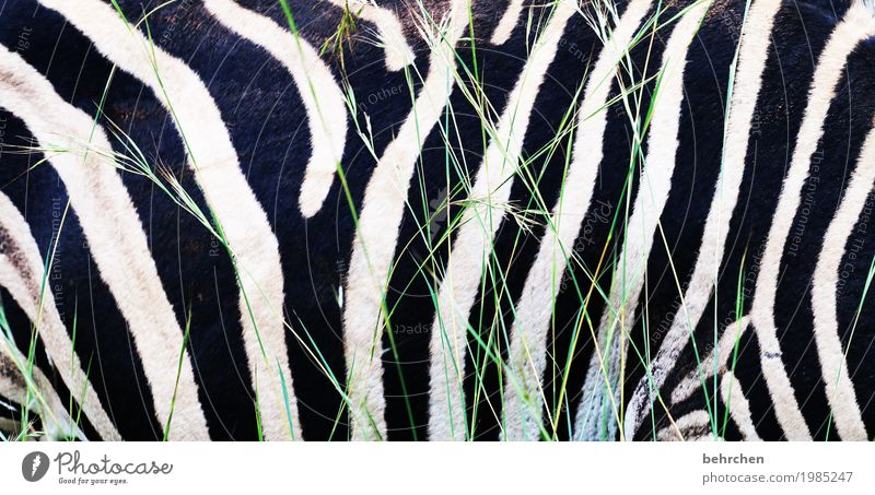 Longitudinal stripes make slim! Vacation & Travel Tourism Trip Adventure Far-off places Freedom Safari South Africa Wild animal Pelt Zebra 1 Animal Exceptional