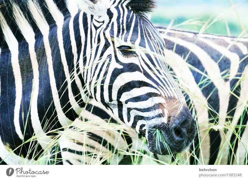 streaky Vacation & Travel Tourism Trip Adventure Far-off places Freedom Safari Nature Plant Animal Grass Wild animal Animal face Pelt Zebra 2 Observe To feed
