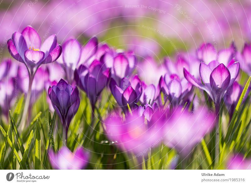 Purple crocuses (Crocus) - light floods through Design Decoration Wallpaper Image Card Mother's Day Easter Nature Plant Sunlight Spring Flower Blossom Garden