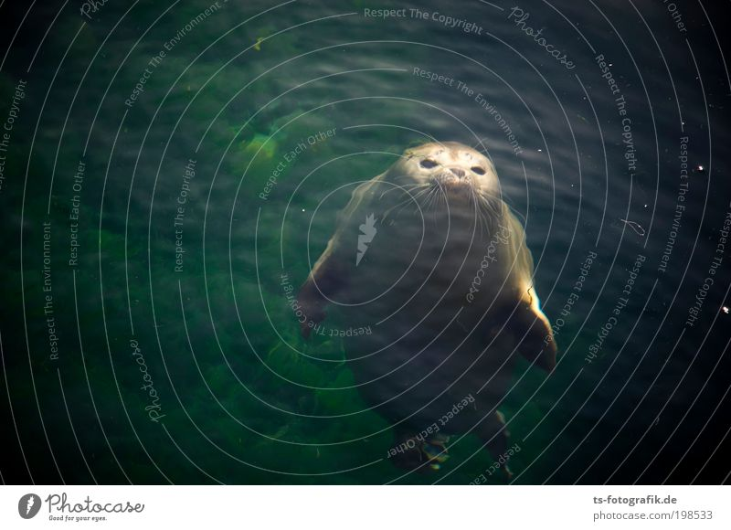 seal curiosity Environment Nature Animal Elements Water Summer Coast North Sea Baltic Sea Ocean Wild animal Animal face Harbour seal Seal cub 1 Baby animal