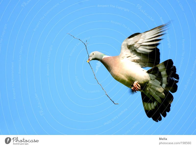 peace! Environment Nature Animal Air Sky Cloudless sky Wild animal Bird Pigeon wood pigeon 1 Sign Dove of peace Flying Carrying Free Infinity Natural Positive