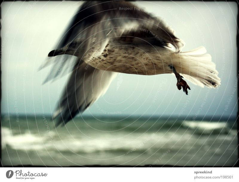 nearly Far-off places Freedom Ocean Environment Air Coast Baltic Sea Animal Wild animal Bird Seagull 1 Flying Esthetic Elegant Power Longing Wanderlust Movement