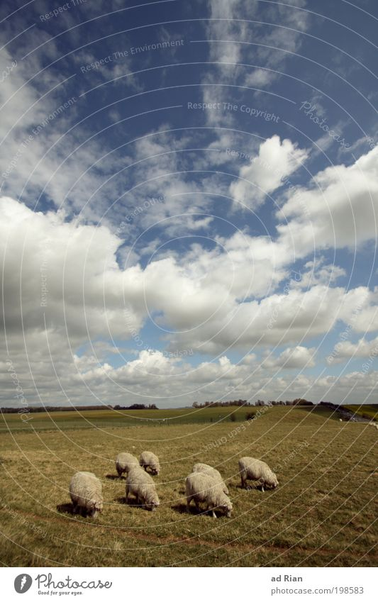 Sky Nature Plant Animal Clouds Landscape Nutrition Meadow Grass Park Field Walking Free Group of animals Hill Sheep