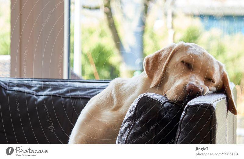 schwesta siesta Animal Pet Dog Labrador 1 Relaxation Cute Blue Brown Yellow Gold Green Black White Trust Warm-heartedness Peaceful Serene Calm Colour photo