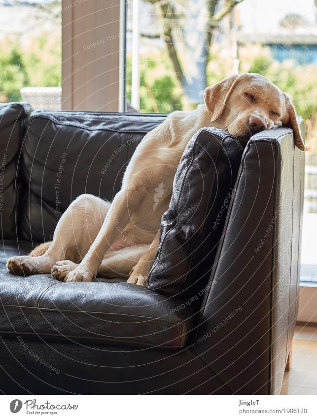 quiet zone Animal Pet Dog Labrador 1 Sleep Cuddly Blue Brown Yellow Gold Green Black White Serene Relaxation Colour photo Interior shot Deserted
