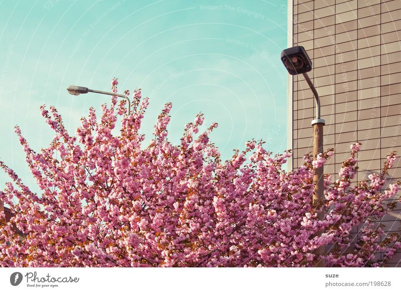 Sky Nature Beautiful Tree Plant Vacation & Travel Wall (building) Environment Blossom Spring Pink Facade Arrangement Esthetic Growth Bushes