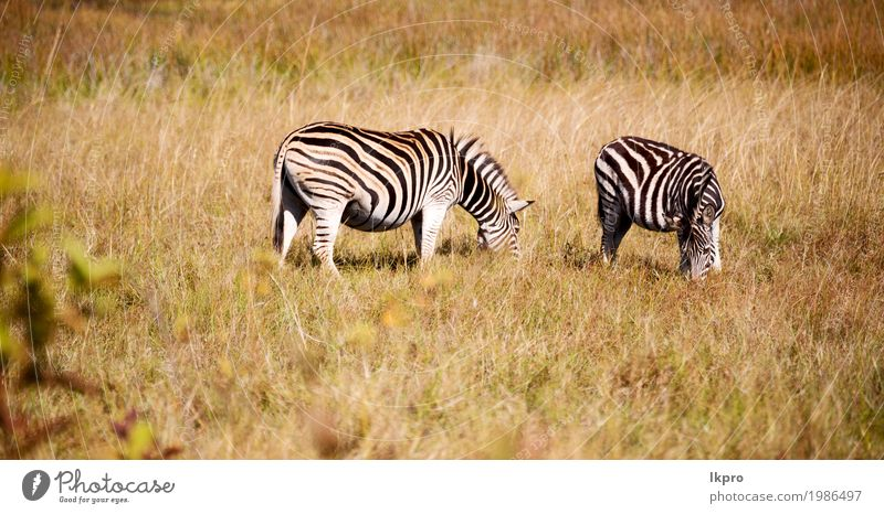 mlilwane wildlife nature reserve and wild zebra Skin Playing Vacation & Travel Adventure Safari Mountain Zoo Nature Plant Animal Grass Park Herd Stripe To feed