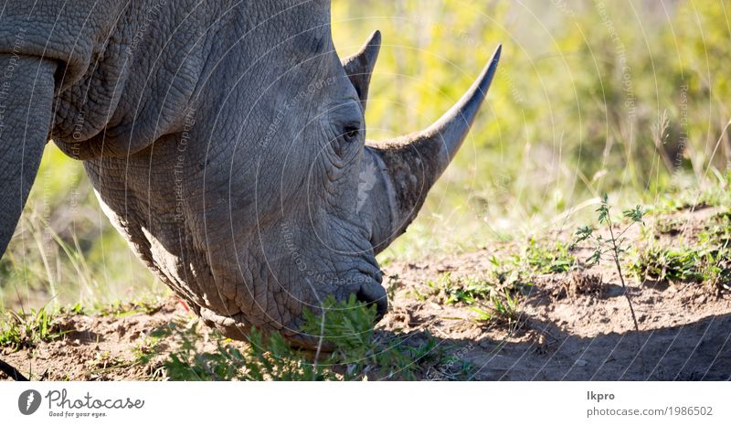 nature reserve and wild rhinoceros Body Skin Tourism Safari Zoo Nature Plant Animal Tree Grass Park Large Strong Wild Gray Black White Death Dangerous