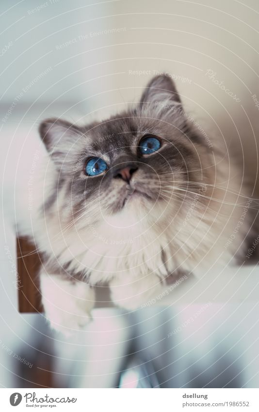 Cat Blue Beautiful White Relaxation Animal Illuminate Glittering Lie Elegant Esthetic Perspective Adventure Observe Cute Curiosity