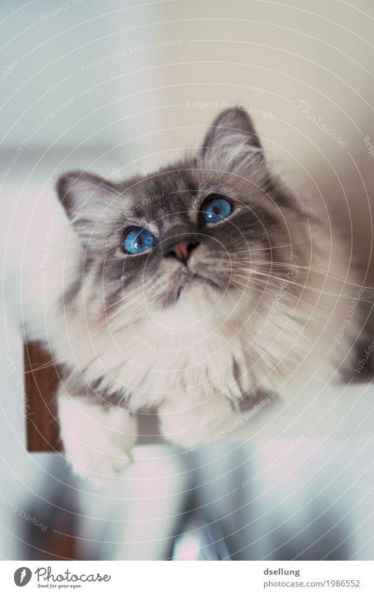 Observer. Animal Pet Cat holy Burma 1 Relaxation Illuminate Lie Looking Esthetic Elegant Brash Glittering Beautiful Astute Curiosity Cute Blue Turquoise White