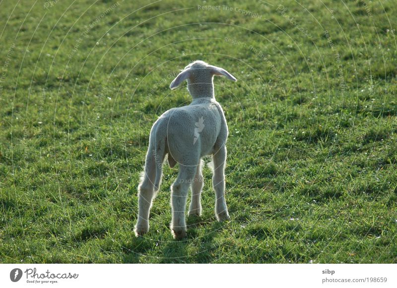 mama viewfinder Spring Meadow Animal Farm animal Sheep Lamb little lamb 1 Baby animal Fear Search questing Divide Loneliness Helpless Needy Colour photo