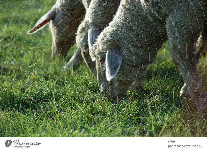 lawn mower fraction Lawnmower Mow the lawn Nature Meadow Field Farm animal Sheep Herd To feed Team Teamwork Reap Wool Grass Green Head Nutrition Colour photo