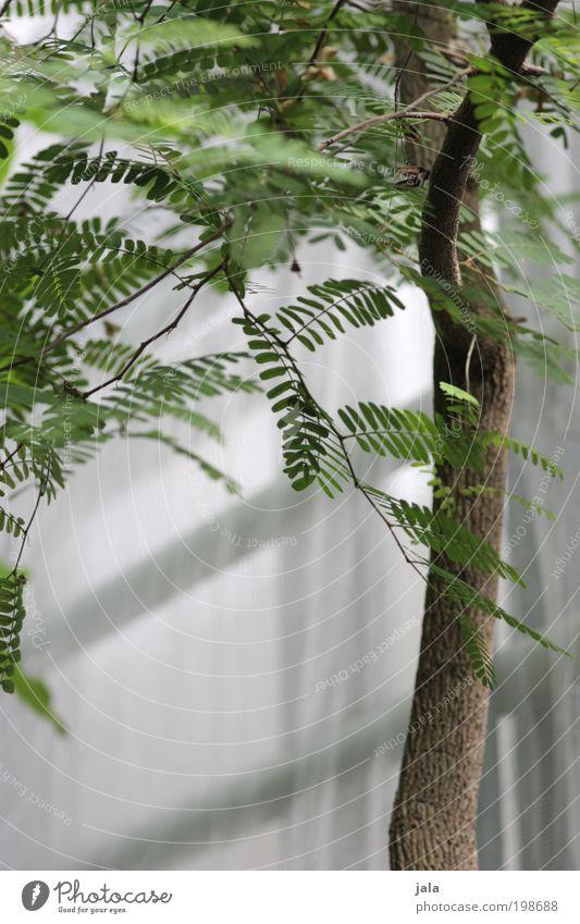 tender green [LUsertreffen 04 10] Nature Plant Tree Leaf Foliage plant Wild plant Garden Esthetic Elegant Exotic Green White Tree trunk Branch Mimosa