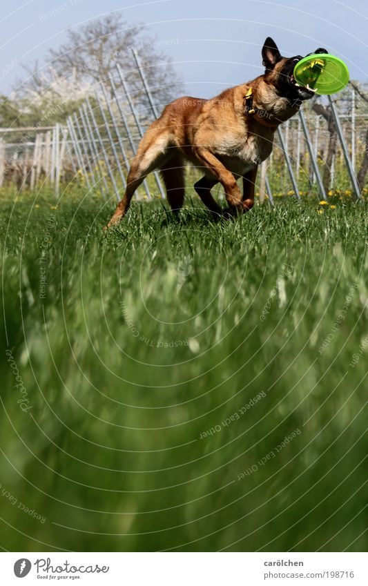 with a bite Animal Pet Dog 1 Movement Catch Athletic Brown Green Power Willpower Brave Determination Passion Watchfulness Joy Frisbee dog sport Meadow Running