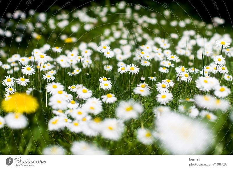 Daisy Sea Environment Nature Plant Spring Summer Beautiful weather Flower Grass Foliage plant Wild plant Daisy Family Garden Blossoming Fragrance Growth Many