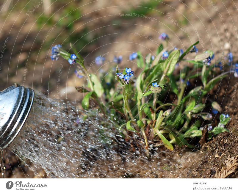 Gardening the Second Earth Water Plant Blossom Forget-me-not Shower head Metal Work and employment Blossoming Growth Wet Beautiful Blue Brown Green Spring fever