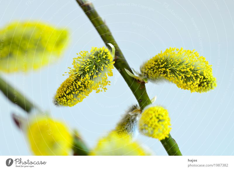 Willow blossom in spring Easter Plant Spring Tree Bushes Blossom Jewellery New Blue Yellow willow blossom Goat willow Spring flowering plant Willow tree