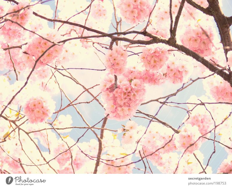 photo through pink glasses. Cherry Blossom Festival Environment Plant Sky Spring Exotic Cherry blossom Garden Park Blossoming Fragrance Glittering Illuminate