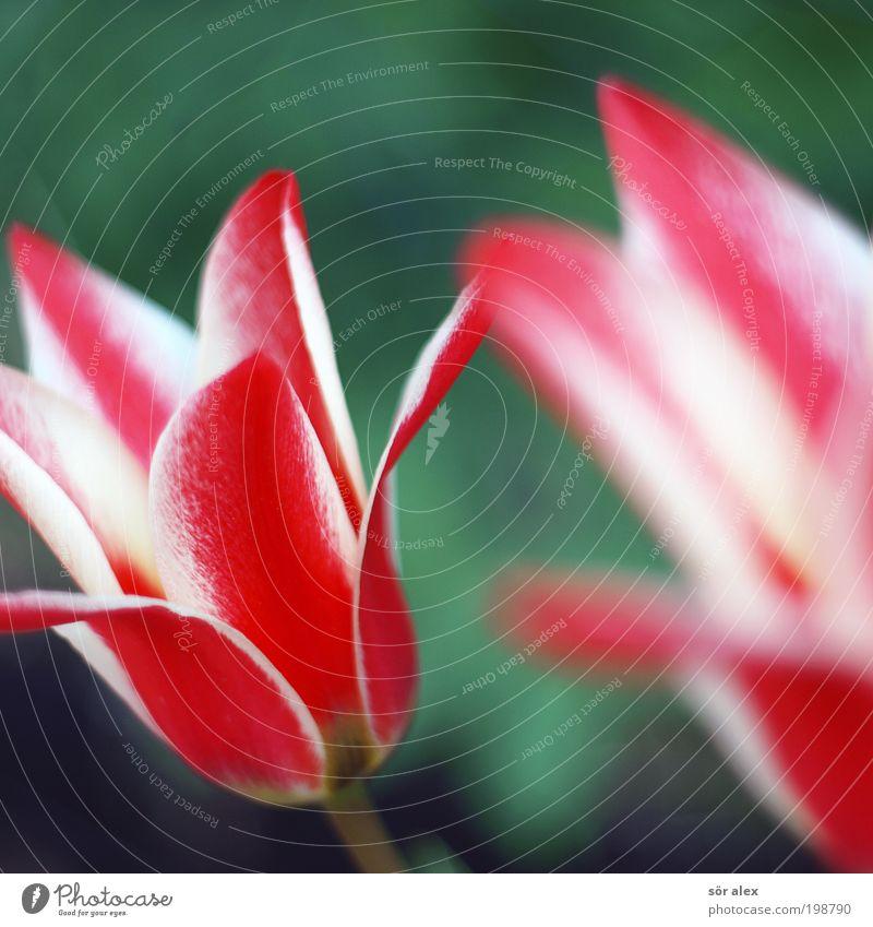 Nature Beautiful White Flower Green Plant Red Blossom Spring Fresh Fragrance Tulip Blossom leave Spring flower Reddish white Colour palette