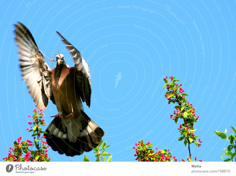 spot landing Environment Nature Animal Air Cloudless sky Spring Bird Pigeon wood pigeon 1 Sign Dove of peace Movement Flying Positive Multicoloured Moody